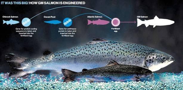 salmon-transgenico
